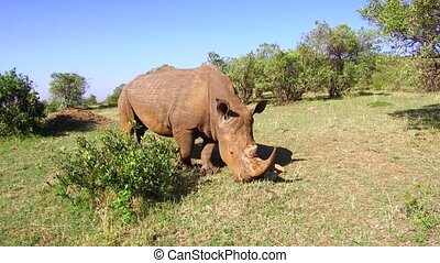 fixer, savane, afrique, rhinocéros