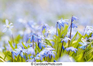 fjäder, blå blommar, glory-of-the-snow