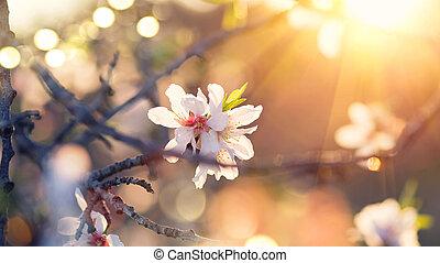 fjäder, blomma, bakgrund., vacker, beskaffenhet scen, med, blomning, mandel träd