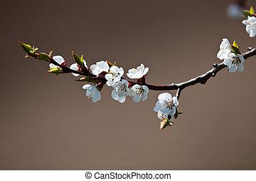 fjäder, -, blomstrande, äpple träd