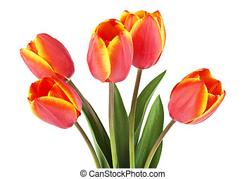 fjäder, bouquet., tulpaner, på, a, vit, bakgrund.