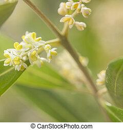 Asp blomning