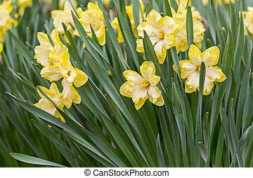 fjäder, gul, påskliljor, blomningen, med, grönt lämnar, in, trädgård