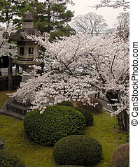 fjäder, japanska trädgård
