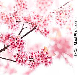 fjäder, körsbär blomstrar, på, rosa bakgrund