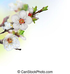 fjäder, körsbär blomstrar