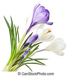 fjäder, krokus, blomningen