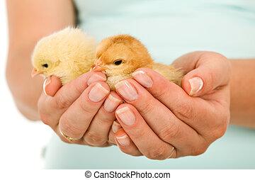 fjäder, kvinna, kycklingarna, hand