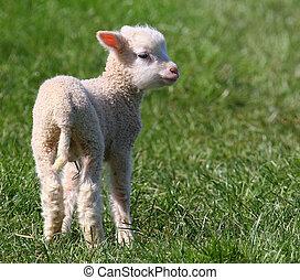 fjäder, lamb.