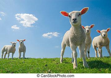 fjäder, lamm, nyfiken