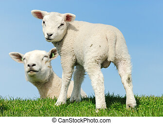 fjäder, lamm, söt