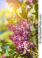 fjäder, lila, viol blommar, mjuk, blommig, bakgrund