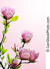 fjäder, magnolia träd, blomstringar, på, rosa, bakgrund.