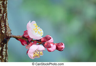 fjäder, med, rosa blommar