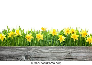 fjäder, påskliljor, blomningen