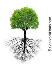 fjäder, root., träd, grön