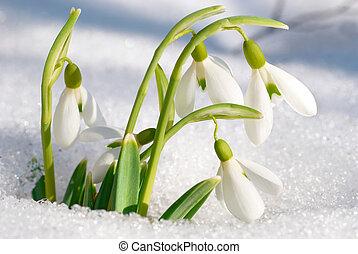 fjäder, snödroppe, blomningen