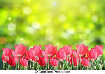 fjäder, tulips.