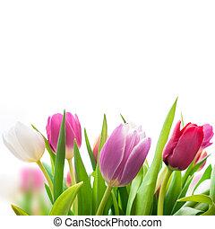 fjäder, tulpaner, blomningen