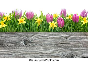fjäder, tulpaner, och, påskliljor, blomningen