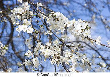 fjäder, vit, äpple, blomstringar, blomning