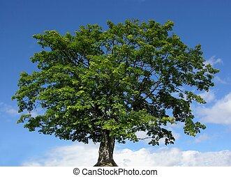 fjäll, lönn träd, och blåa, sky