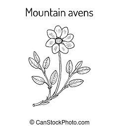 fjäll, växt, octopetala, dryas, avens, medicinsk, vit, eller...