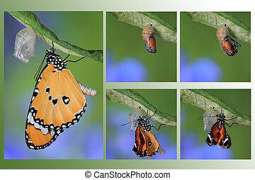 fjäril, ändring, bilda, puppa, förbluffande, ögonblick