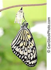 fjäril, ändring, bilda, puppa