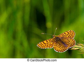 fjäril, in, den, natur