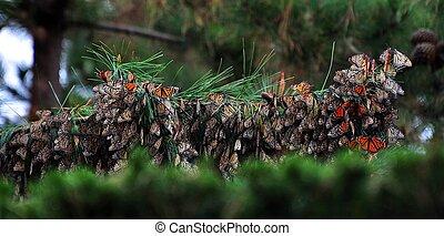 fjäril, monark, habitat