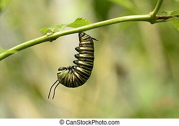 fjäril, monark, larvtraktor