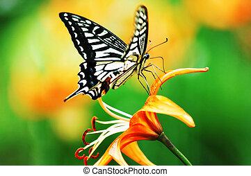 fjäril, och, blomma