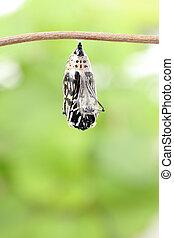 fjäril, puppa, ändring, bilda
