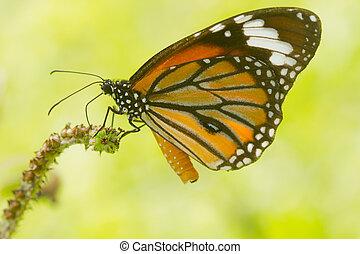 fjäril, vacker