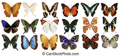 fjärilar, kollektion, färgrik, isolerat, vita