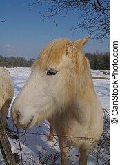 fjord, purebred, cavalo