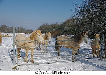 fjord, purebred, cheval