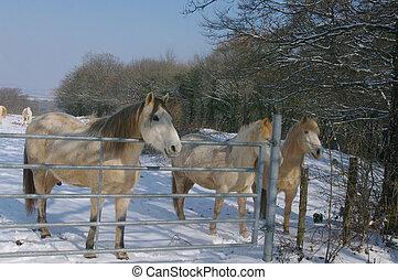 Fjord purebred horse