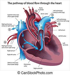 flöde, genom, blod, hjärta