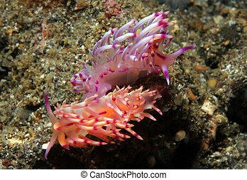 Flabellina Rubrolineata Couple Mating, Lembeh Strait, ...