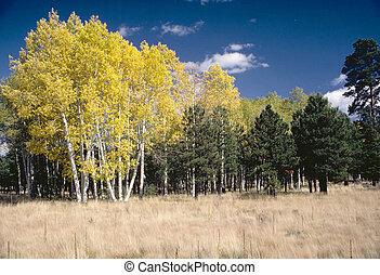 An Aspen grove outside Flagstaff, Arizona