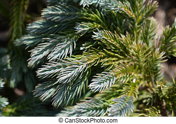 Flaky Juniper Blue Star - Latin name - Juniperus squamata...