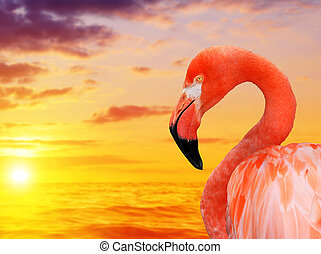 flamant rose, sunset.