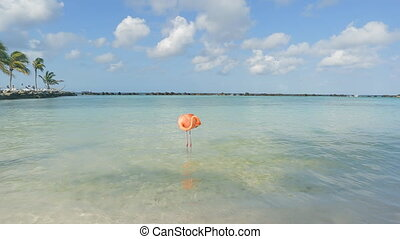 flamants rose, garçon, aruba., plage, flamant rose