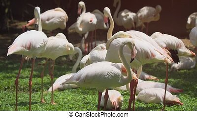 Flamboyance of pink flamingos, resting in the grass in their habitat enclosure. UltraHD 4k footage