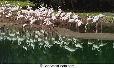 Flamboyance of pink flamingos, standing in shallow, muddy pond water in their habitat enclosure at a popular, public zoo.