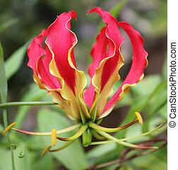 Flame Lilly - Gloriosa Surpurba