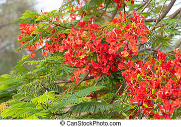 Flame tree, royal poinciana, flam boyant in-THAILAND. Flower...