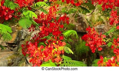 Flame Tree Royal Poinciana Vibrant Red Flowers HD Footage -...